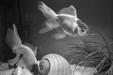 goldfish_black_and_white_by_creator_reloader-d32p081